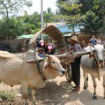 ミングォンの牛車タクシー